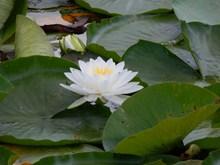 荷塘白色睡莲花高清图片