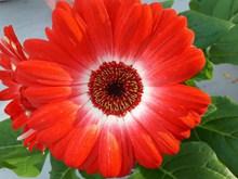 红色非洲菊花朵图片下载