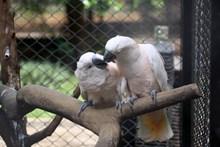白色情侣鹦鹉图片大全