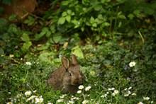 草地上的灰色兔子图片下载