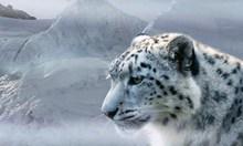 高清西藏雪豹图片素材
