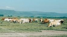 草原牛群风景图片素材