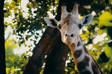 长颈鹿头部局部高清图