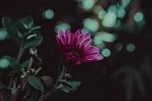 玫红色菊花精美图片