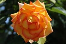 美丽玫瑰花朵近景精美图片