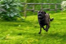 飞奔黑色狗狗图片下载