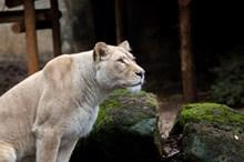 野生母狮子图片素材