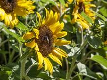 向日葵花朵摄影精美图片
