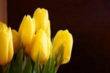 黄色郁金香花卉精美图片