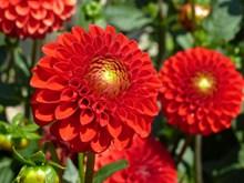 大朵红色大丽花高清图