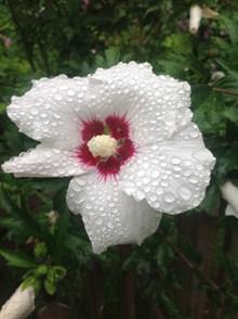 雨后木槿花高清图