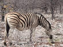 纳米比亚斑马图片