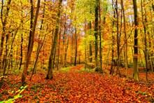 秋天黄树林风景高清图