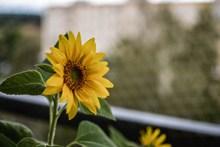 一朵阳光下向日葵高清图片