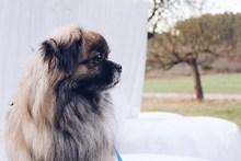 可爱京巴狗狗图片下载