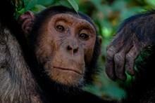 高清动物黑猩猩图片下载