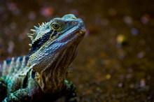 绿鬃蜥宠物高清图