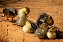 可爱小鸭子毛绒绒图片素材