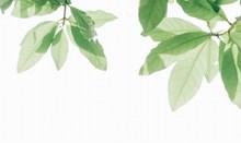小清新树叶白色背景图片