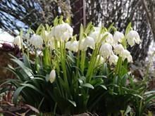 白色铃兰花朵图片