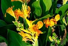黄色美人蕉花朵图片