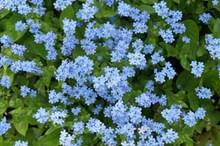 蓝色花朵勿忘我图片下载
