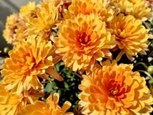 大朵橙色菊花高清图片