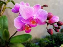 美丽蝴蝶兰摄影高清图