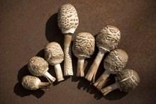 食用牛肝菌菇图片素材