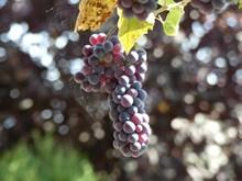 紫色葡萄串摄影高清图