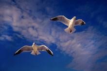 天空海鸥飞翔高清图片