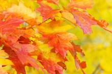 秋天唯美红叶图片下载