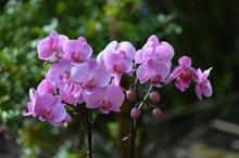 淡紫色蝴蝶兰精美图片