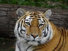 野生老虎肖像图片素材
