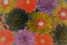 菊花水彩画高清图片