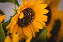 向日葵高清特写高清图片