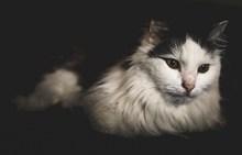 挪威森林长毛猫图片下载