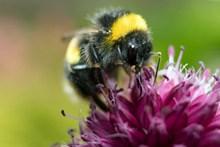 蜜蜂正在采蜜的高清图片