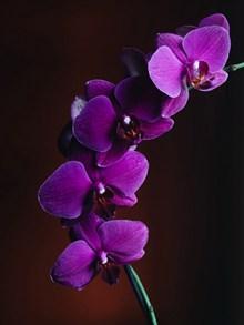 紫色蝴蝶兰品种高清图
