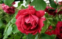 红玫瑰高清摄影高清图片