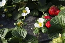 田园草莓图片
