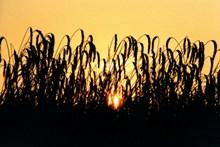 黄昏日落小麦剪影图片下载
