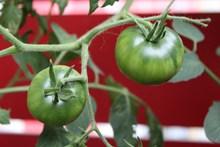 绿色西红柿蔬菜图片