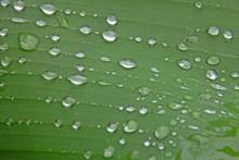 绿叶上透明水滴高清图