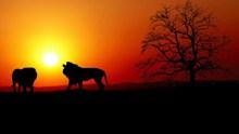 日落狮子树木剪影图片大全