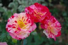 多彩玫瑰花朵图片大全