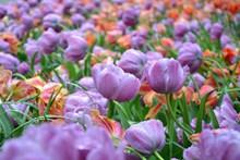 紫色郁金香花海摄影图片下载