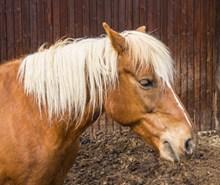棕色马匹头部特写图片下载