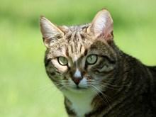 虎斑小猫精美图片