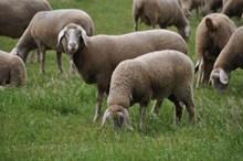 草地羊群吃草高清图